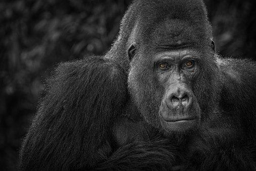 Gorilla, Monkey, Watch, Black, White, Portrait