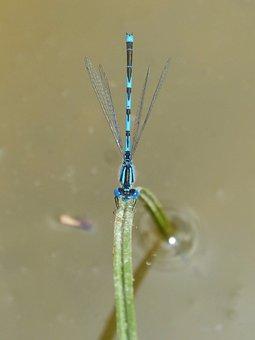 Blue Dragonfly, Damselfly, Leaf, Pond