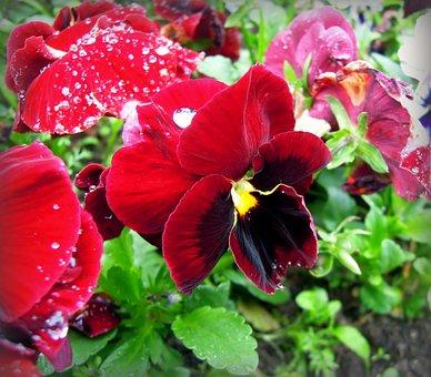 Pansies, Violet, Viola, Flowers, Burgundy, Flower Bed