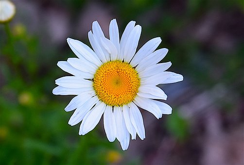 Daisy, Bright, Fresh, Nature, Floral, Summer, Flower