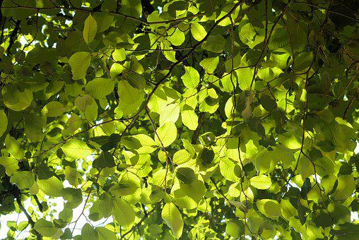 Leaves, Green, Nature, Green Leaves, Leaf, Plant