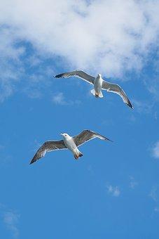 Seagull, Bird, Gulls, Birds, Blue, Nature, Background