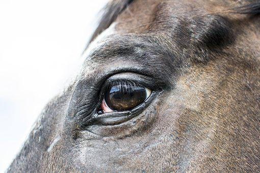 Horse, Eye, Farm, Portrait, Animal, Head, Stallion