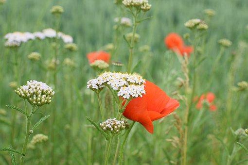 Wild Flower Meadow, Sharp Sheaf, Klatschmohn, Grasses