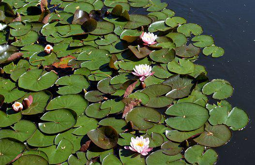 Water Lilies, Leaves, Aquatic Plant, Lily Pad, Pond