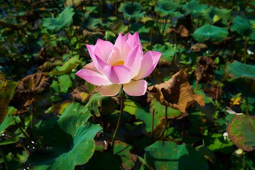 Flower, Lotus, Nature, Beauty, Beautiful