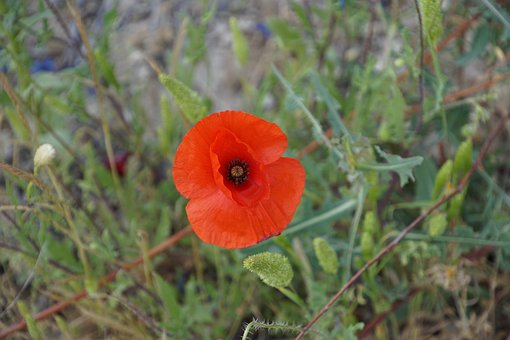 Klatschmohn, Poppy, Nature, Poppy Flower, Red, Blossom