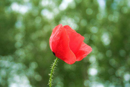 Poppy, Red, Green, Wild, Bokeh, Nature, Beauty