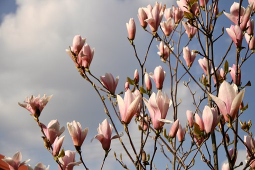 Magnolia, Garden, Spring, Blooming Tree, Nature, Flower