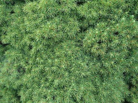 Needles, Conifer, Close Up, Plant, Nature, Many