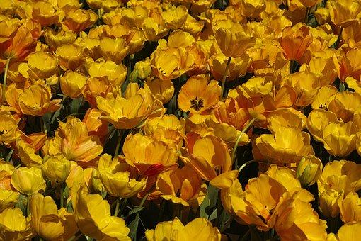 Yellow, Tulips, Flower, Tulip Festival, Macro, Plant
