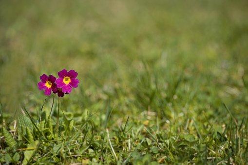 Primrose, Flower, Pointed Flower, Red, Meadow Primrose