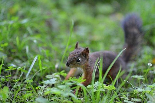 Squirrel, Animals, Greens