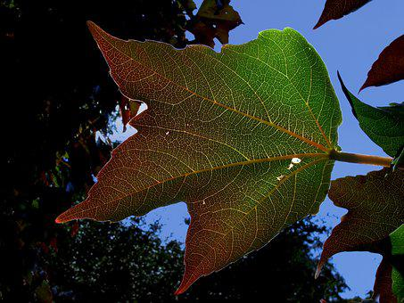 Plant, Leaf, Wine Partner, Back Light, Nature