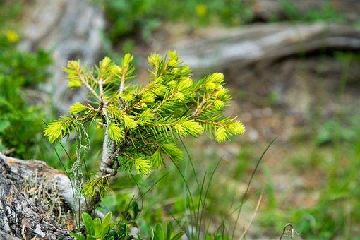 Pine, Scion, Tree, Branch, Nature, Plant, Grow, Close