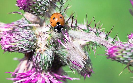 Ladybug, Coccinellidae, Beetle, Siebenpunkt Ladybird