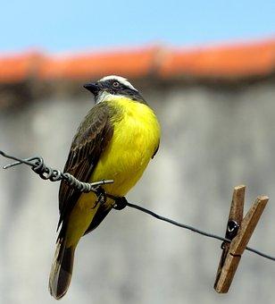 Bem-te-vi, Bird, Corner, Nature, City