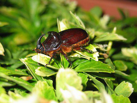 Beetle, Large, Insect, Close, Leaves