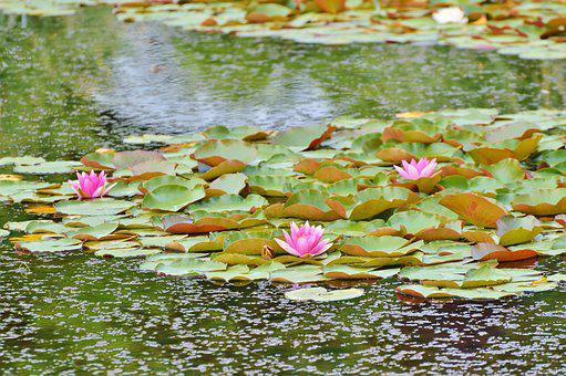 Water Lilies, Lily Pond, Lake Rose, Aquatic Plant