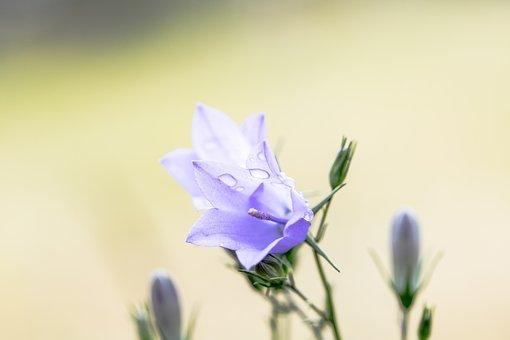 Bluebells, Campanula, Blossom, Bloom, Flower, Purple