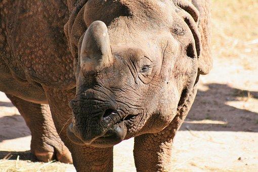Rhino, Africa, Big Game, Pachyderm, Animal, Zoo