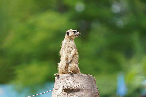Meerkat, Watch, Guard, Mammal, Supervisor, Zoo