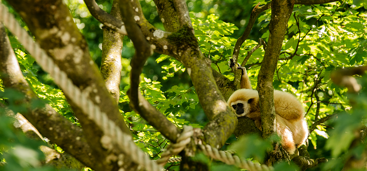 Gibbon, White-handed Gibbon, Monkey, Primate, Tree, Sit