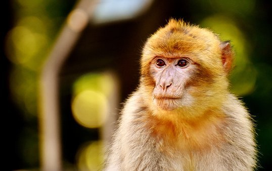 Ape, Young Animal, Barbary Ape, Endangered Species