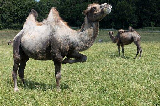 Camel, Camelus Bactrianus, Paarhufer, Mammal, Animal