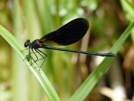 Black Dragonfly, Damselfly, Wetland
