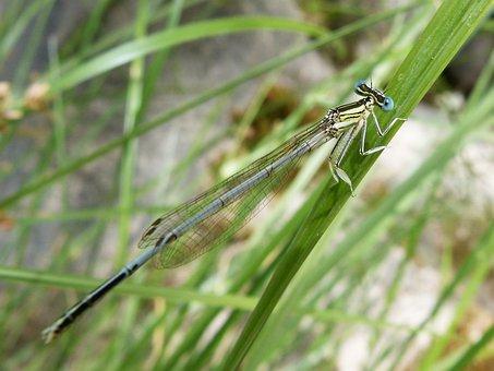 Dragonfly, Leaf, Damselfly, Wetland