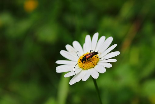 Chamomile, Beetle, Flower, Summer, Sunny, Nature