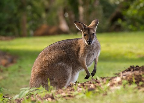 Wallaby, Rednecked Wallaby, Fur, Brown, Watching