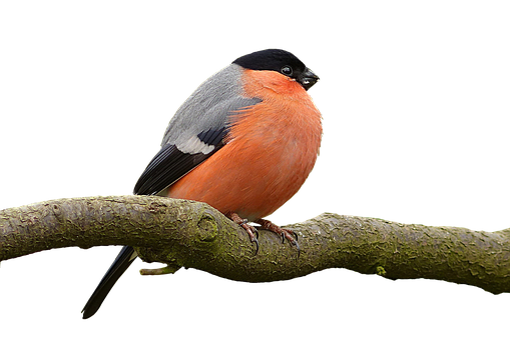Bullfinch, Pyrrhula, Bird, Male, Tree, Garden, Males