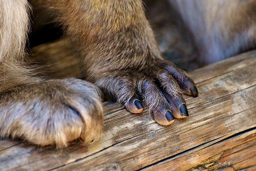 Barbary Ape, Hand, Foot, Endangered Species