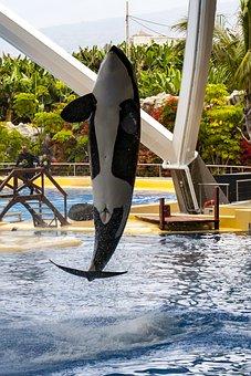 Canary Islands, Tenerife, Loro Park, Orca, Killer