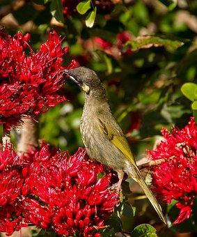 Lewin's Honeyeater, Meliphaga Lewinii, Bird, Wild