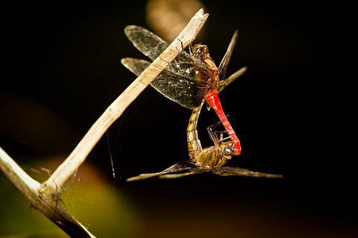 Dragonfly, Mating, Males, Females, Leaf, Green