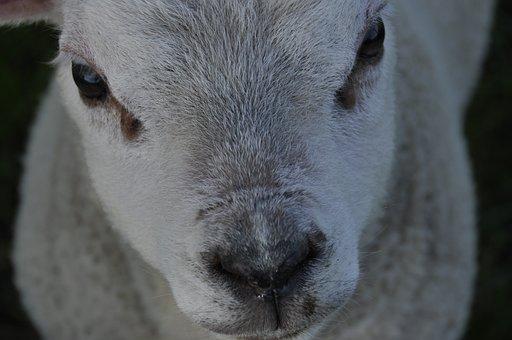 Sheep, Lamb, Mto, Young, Animal, Mammal, Nature, Meadow
