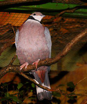 Dove, Colorful, Exotic, Bird, Plumage, Nature, Animal