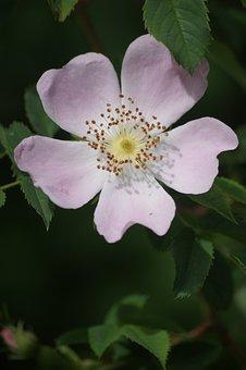 Eglantine, Flowers, Nature