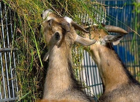 Goat, Goats, Eat, Food, Grass, Zoo, Petting Zoo