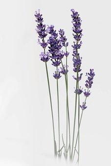 Lavender, Flower, Nature, Summer, Provence, Violet