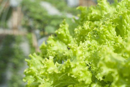 Lettuce, Green, Organic, Leaf, Fresh, Food, Healthy