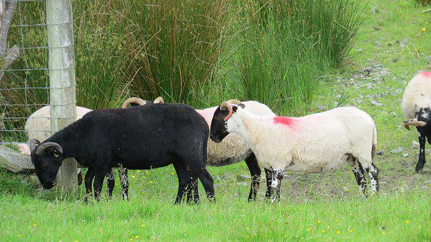 Black Sheep, Sheep, Animal, Black, White, Farm, Nature