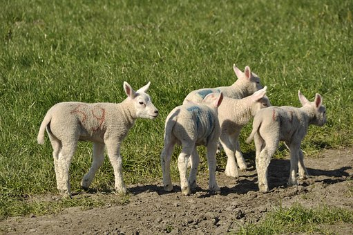 Lambs, Spring, Young, Nature, Animals, Outdoor Life