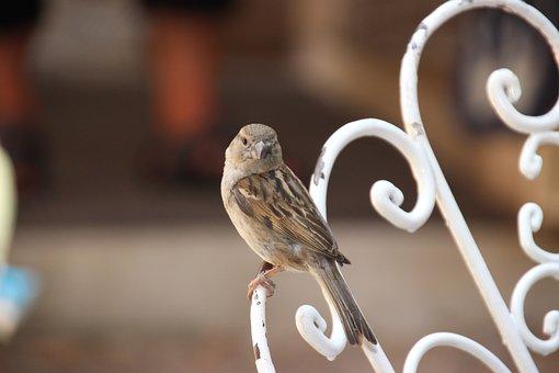 Sparrow, Bird, Animal, Sperling, Foraging