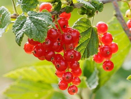 Fruit, Currants, Shrub, Garden, Red, Berries