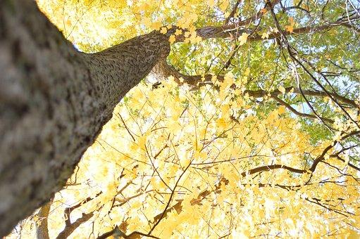 Tree, Fall, Yellow, Fall Trees, Autumn, Nature, Leaves