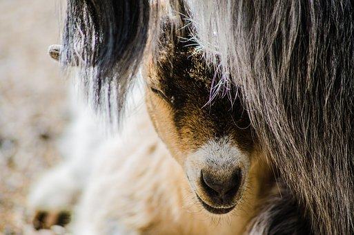 Goat, Baby, Farm, Cute, Nature, Kid, Pet, Animal